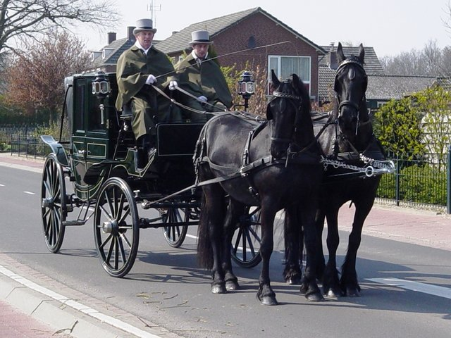 Black Friesians Driving