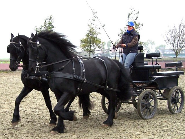 Friesian Horses Carriage Driving