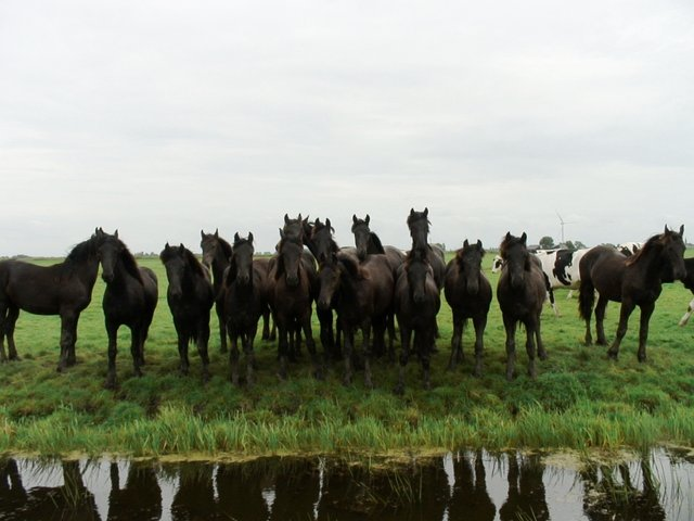 Young Friesian horses and Foals
